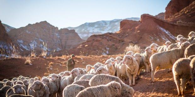Pasterz z owcami na polu