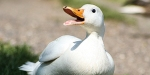 WHITE Peking duck